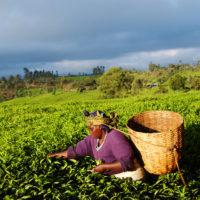 Woman picks tea leaves at sunrise in Embu, Kenya